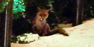 Wapping Fox at night