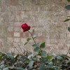 Roses for Wapping Rose Gardens