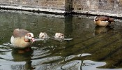 Wapping's Egyptian geese and their fluffy new goslings