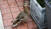 Photo of the week: the Wapping duck visits