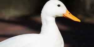 The White duck of Wapping