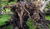 St Jude's storm uproots KEMP tree and closes Wapping Overground