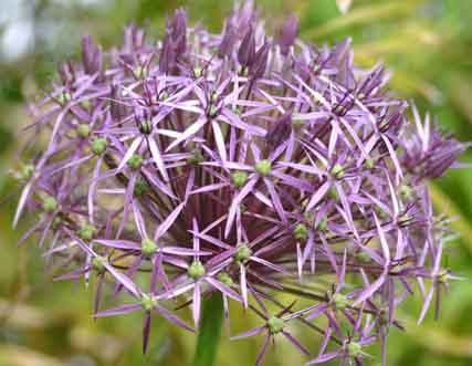 Image Allium Schubertti